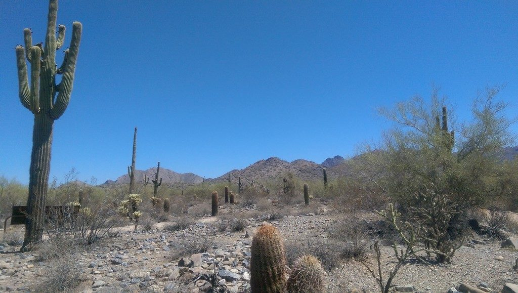 Saguaro Cactus in the McDowell Sonoran Preserve
